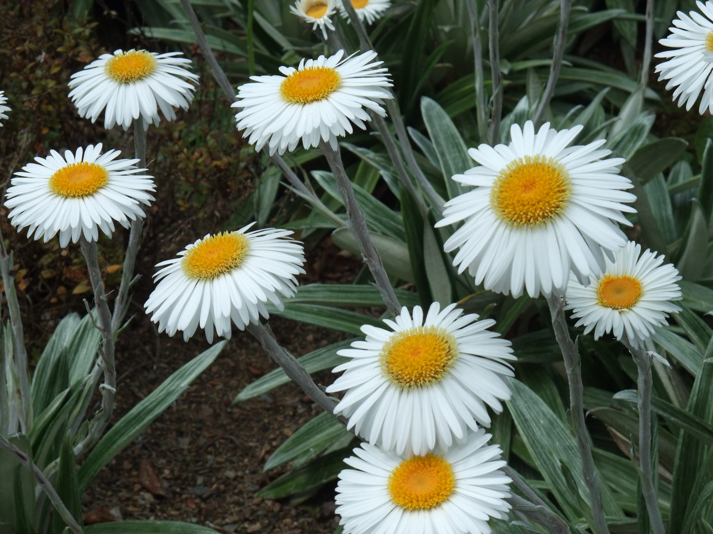 Giant daisy (Celmesias)
