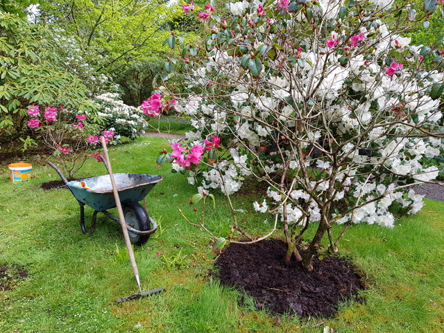 Rhododendron spring care