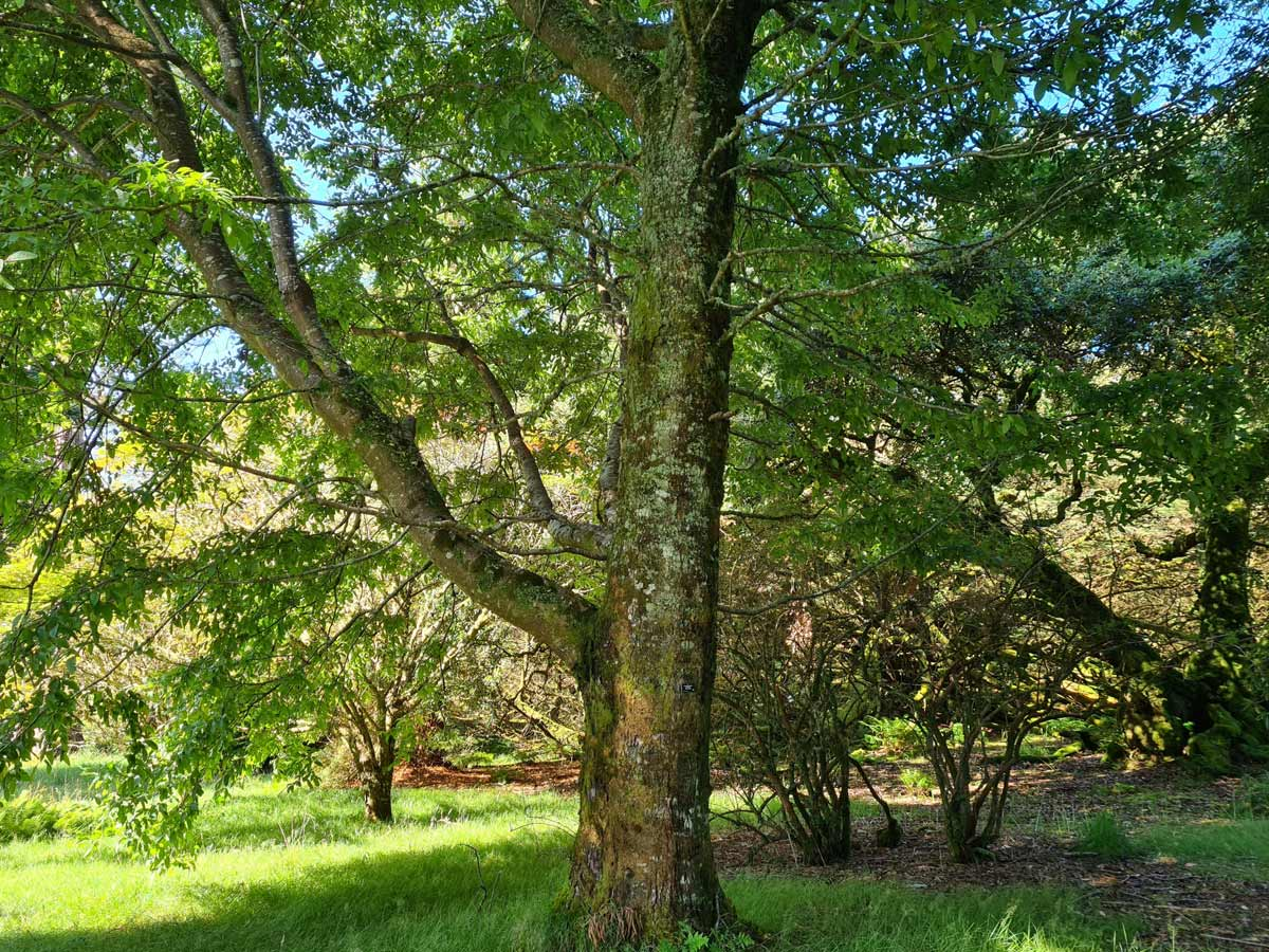 One of our largest memorial trees, Nothofagus procera